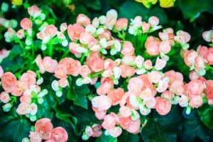 Light pink begonias with Kelly green leaves.