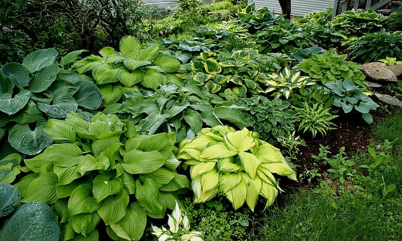 Several varieties of hostas in color and size, shade plants.