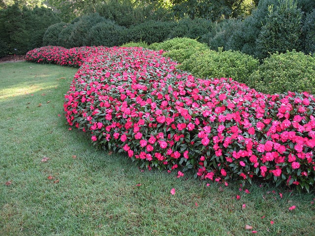 A border of a garden of all the same colored impatiens, dark pink.