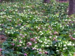 A sea of shade plants called lenten roses in light pink and white on green leafy plants.