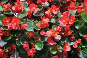 Red begonias with waxy green leaves.