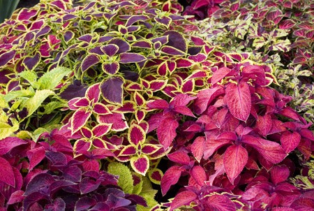 Lots of beautiful colorful variegated annual plants.