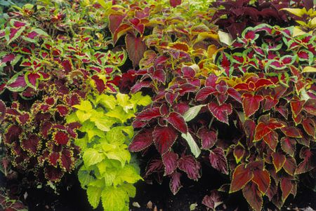 Darker colored Coleus with variegated leaves.