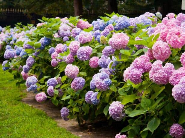 Shade plants that are a bush with pink and blue blooms like big puffy balls.