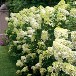 Shade plants called limelight hydrangeas, bushes with cone shaped white flowers.