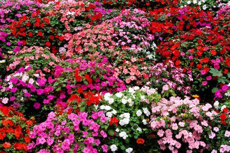 A garden full of multi colored impatiens.