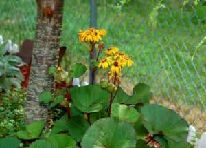 A green leafy plant with yellow flowers that love the shade.