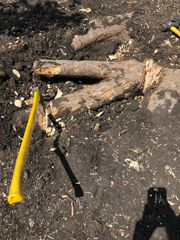 A huge root that is in the way of planting a new tree.