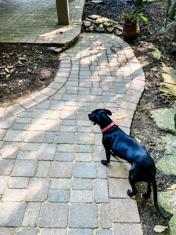 The after picture of a clean patio and sand in the cracks, and my dog is walking on the path.