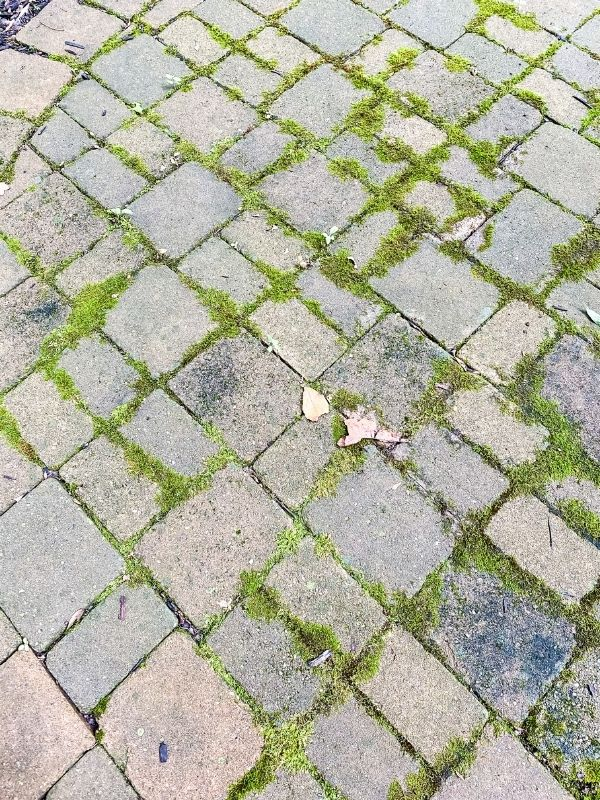 A close up of the moss growing on and in between the cracks of the paver patio.